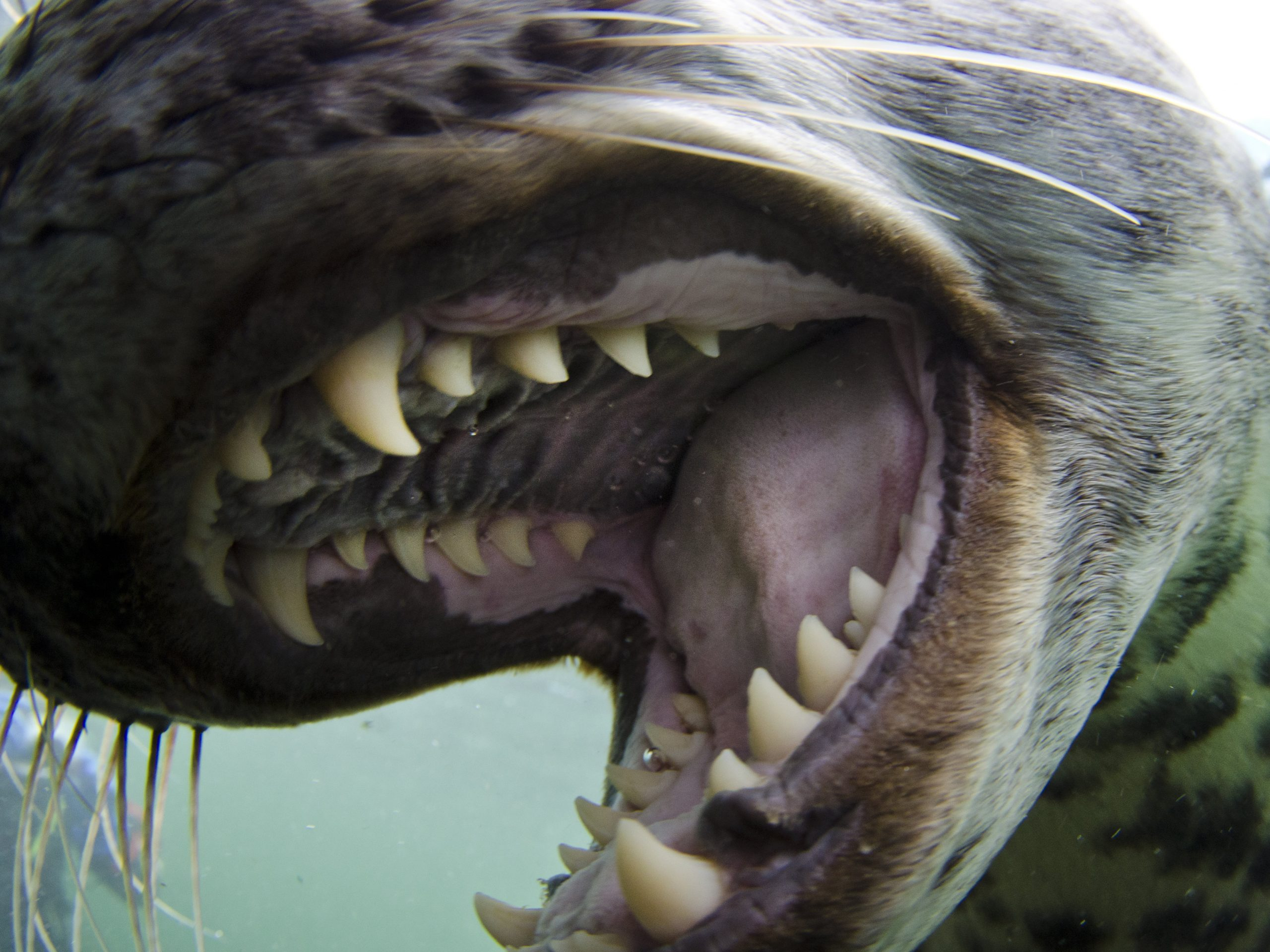 seal-mouth-open